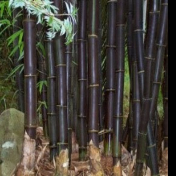 SEEDS - Black Phyllostachys Nigra Bamboo